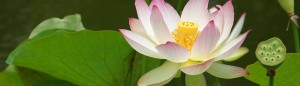 cropped-lotus-flower-banner