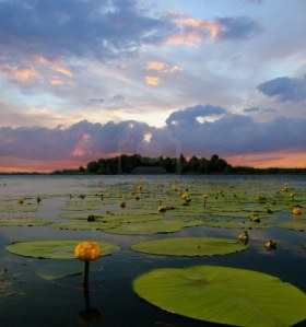 9493325-water-lily-blossoms-against-evening-sky