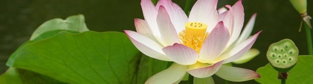 cropped-cropped-lotus-flower-banner4